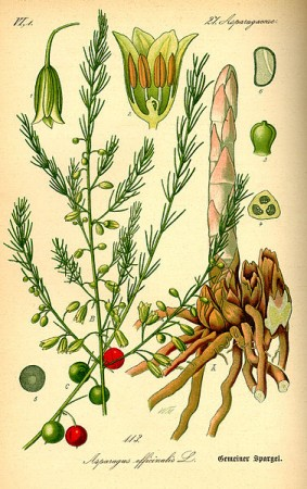 377px-Illustration_Asparagus_officinalis0