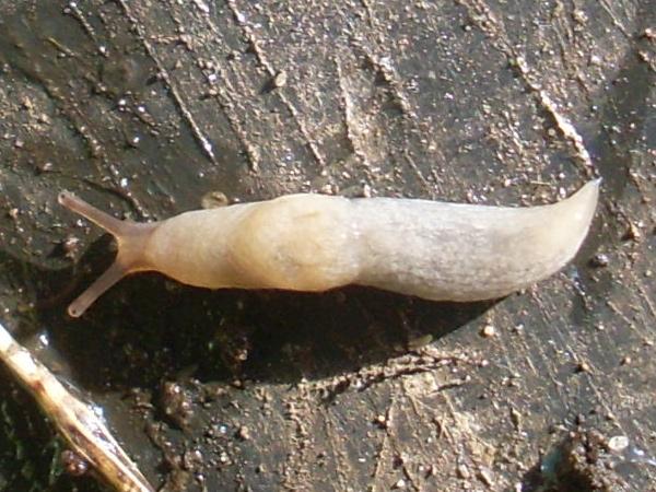 Größeres Exemplar der Ackerschnecke, in meinem Sammeleimer gefangen