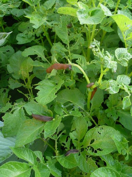 Die Gemeine Wegschnecke ernährt sich von meinen Kartoffelpflanzen