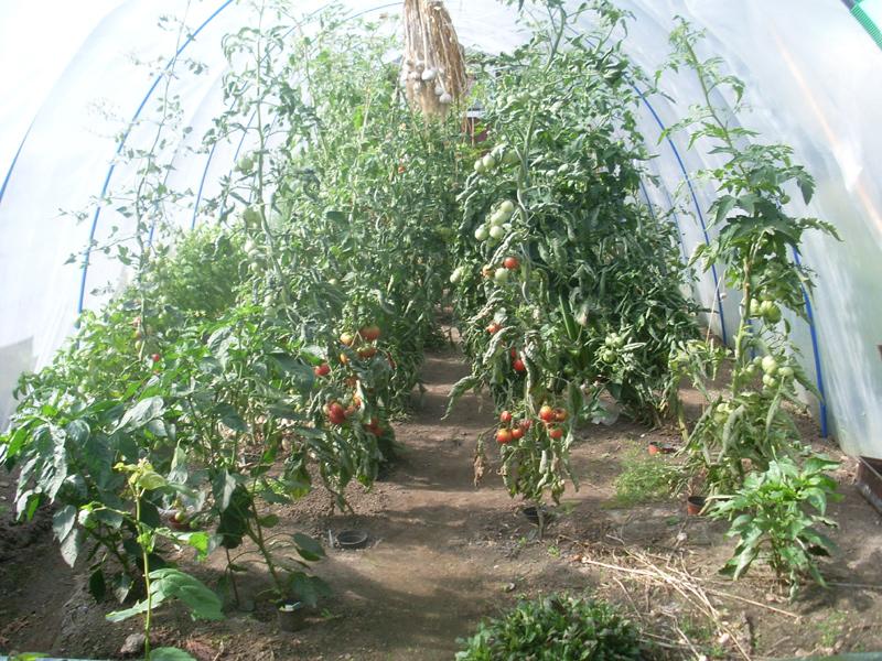 Der Folientunnel mit den zu beerntenden Tomatenpflanzen