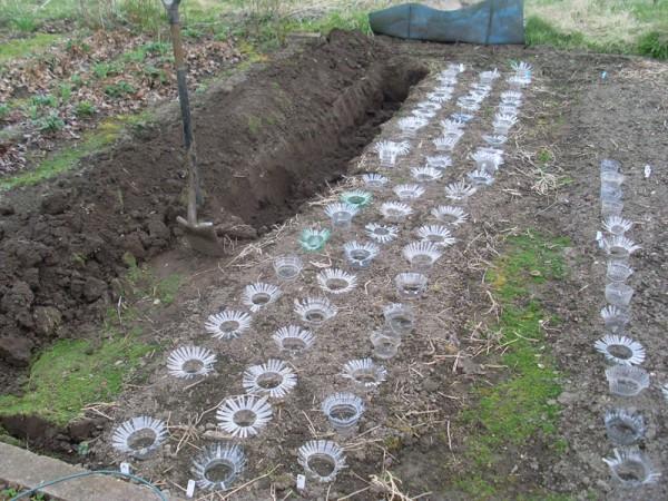 """Die Samen sind seit fast einem Monat gesät; jetzt wird """"Huchels Leistungsauslese"""" in den Boden gebracht (1. April)"""