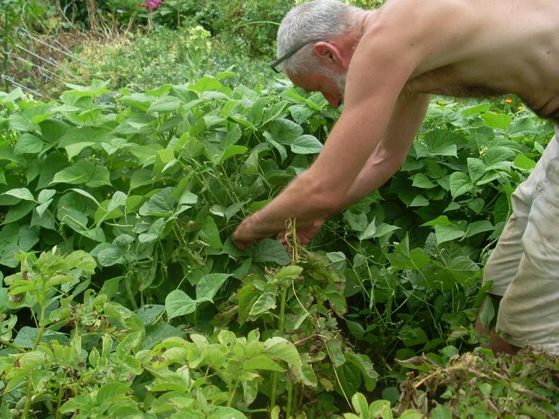 Am 12. Juli erleichtere ich die Buschbohnen um einige ihrer Früchte