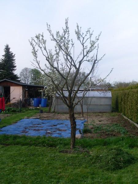Mein Pflaumenbaum in Blüte am 13. April