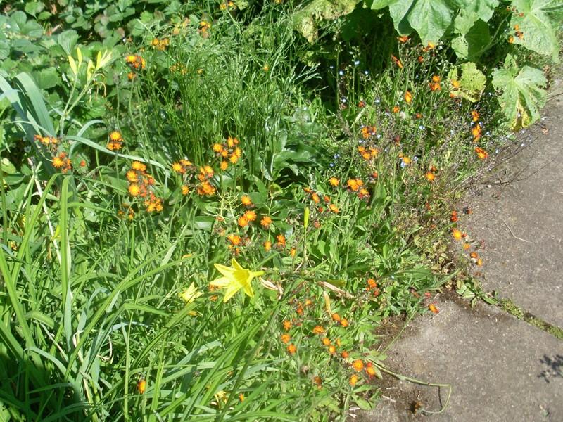 Orangerotes Habichtskraut (8. Juni 2014)