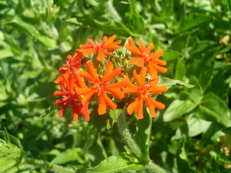 Brennende Liebe oder, wegen der auffälligen Blütenform, Malteserkreuz oder Jerusalemer Kreuz