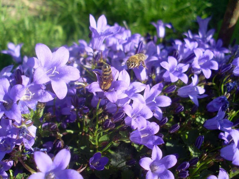 Bienen in Blüten der Polsterglockenblume (8. Juni 2014)