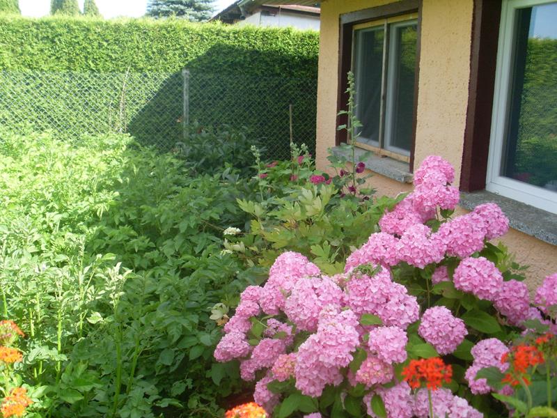 Garten- oder Bauernhortensie (6. Juli 2014)