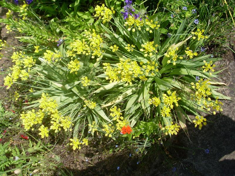 Gelb blühende, niedrige Zwiebelpflanze (8. Juni 2014)