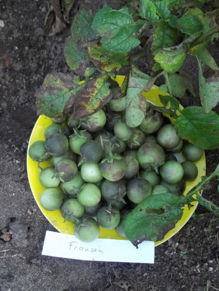 """Früchte von drei Pflanzen der Kartoffelsorte """"Fransen"""", 14. September 2015"""