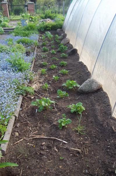 Meine Genbank-Kartoffeln am 16. Mai 2015
