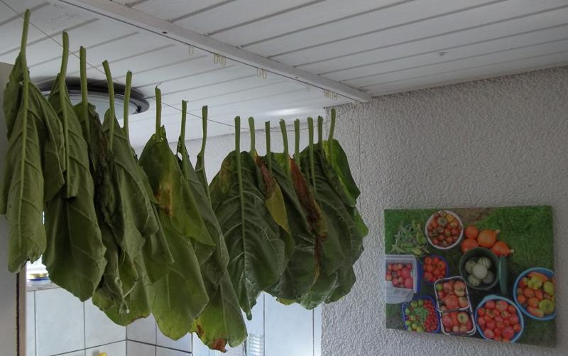 Die Blätter des Bauerntabaks während der Trocknung