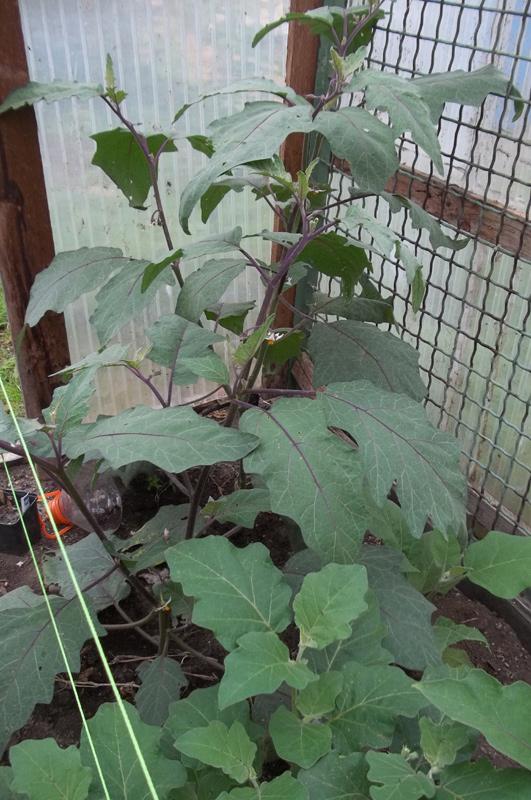 Solanum aethiopicum am 25. Juli