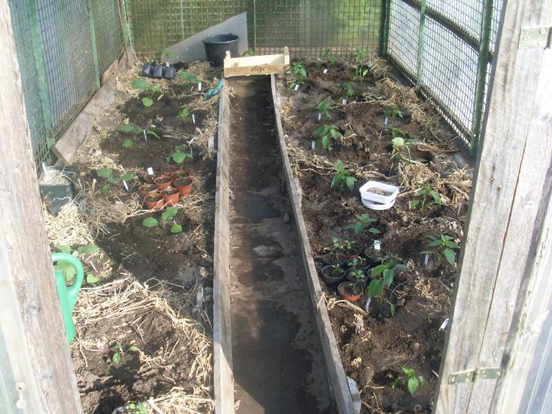 Ausgepflanzt! Paprika und Auberginen im neuen Heim (26. April 2015)