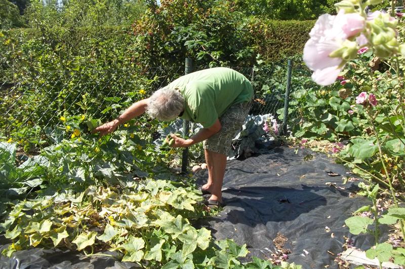 Gurkenpflücker bei der Arbeit am 9. August