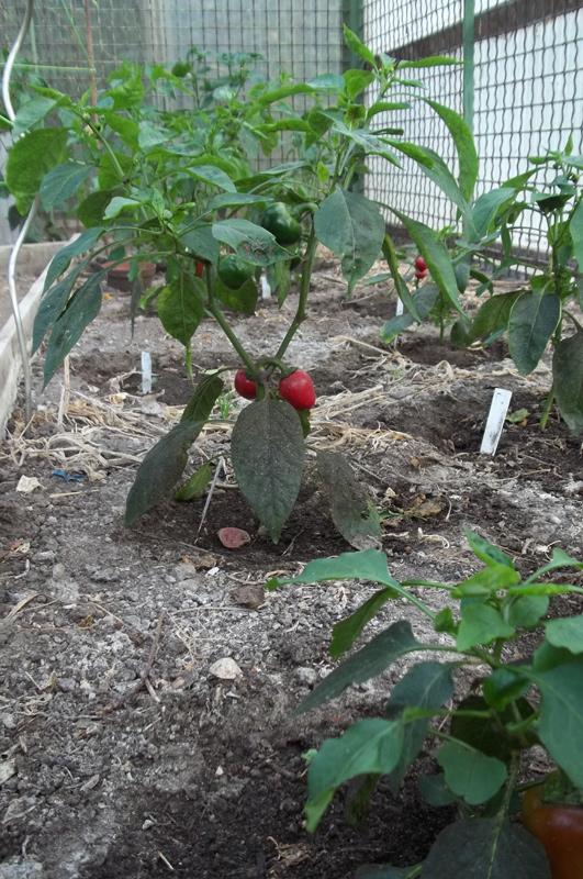 Rote Mini-Paprikas (4. August)