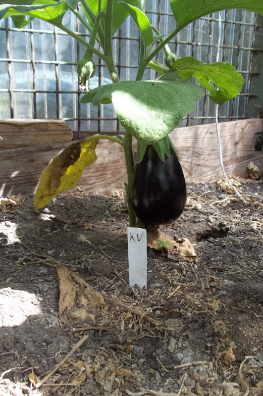 Ergebnis der Nachzucht einer gekauften Frucht (9. August)