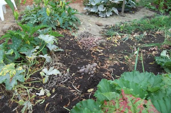Cocozelle und Kartoffeln am 16. August