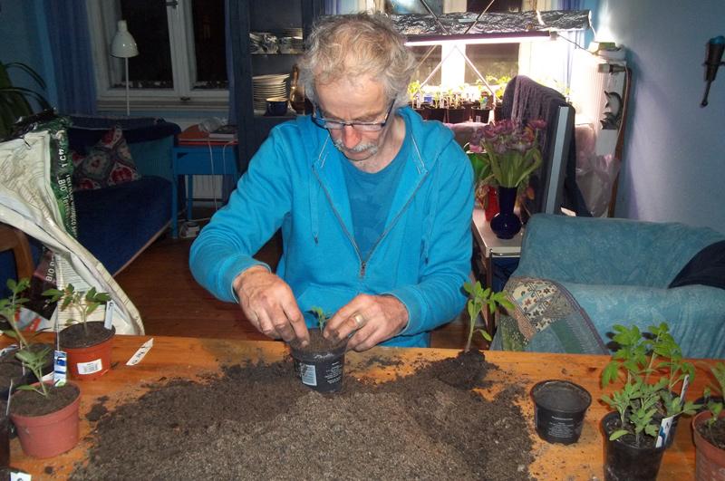 29. März: die Tomaten werden vereinzelt