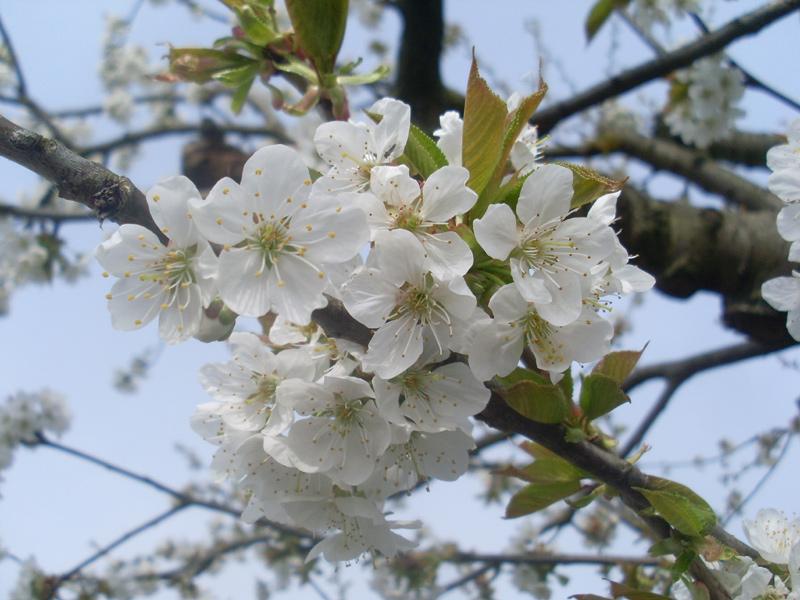 Mein alter Kirschbaum in voller Blüte