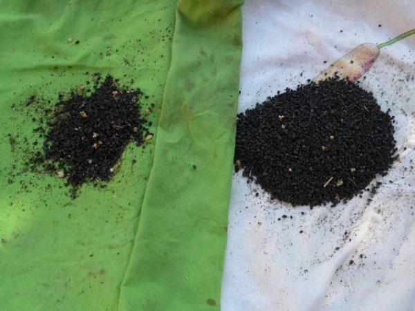 "Samen getrocknet - links der Sorte ""Calbenser Gerlinde"", rechts einer ""Bunten Mischung"""