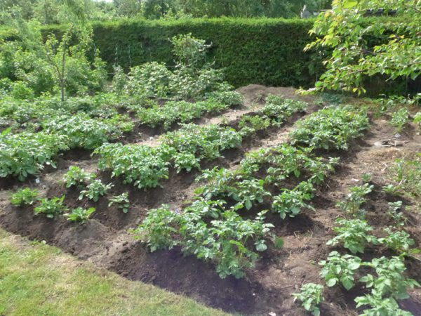 53 Kartoffelsorten fein säuberlich gehäufelt: 29. Mai