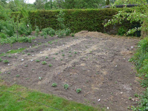 Am 14. Mai zeigen sich schon die ersten Pflanzen – und werden bald gehäufelt