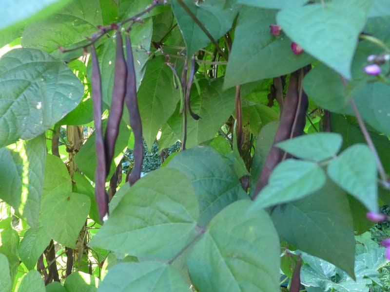 An Bohnen Stangen gespart – Ich bin dann mal im Garten