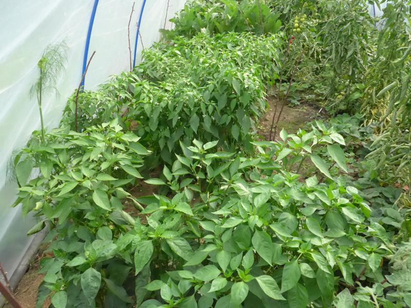 Paprikapflanzen am 19. Juli