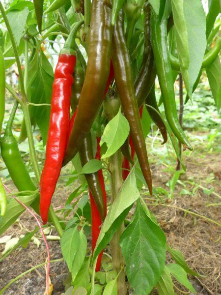 Die roten, langen Pepperoni