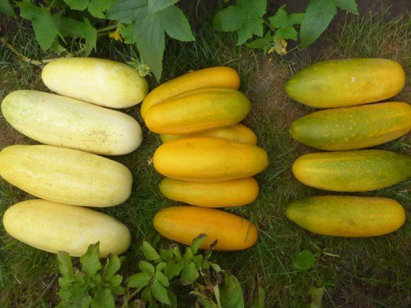 Drei ausgewachsene Gurkensorten: Delikatess, Vorgebirgstaruben und eine Kreuzung?