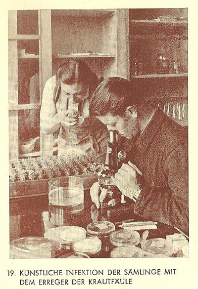 Aus: 50  Jahre Kartoffelzucht Böhm, S. 24 Bild 19: Künstliche Infektion der Sämlinge mit dem Erreger der Krautfäule