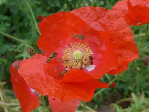 Schwebfliegenversammlung auf Mohnblüte