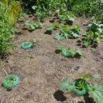 Die Tzkkinipflanzen am 23. Juni