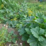 Die Zukkini-Pflanzen am 18. Juli