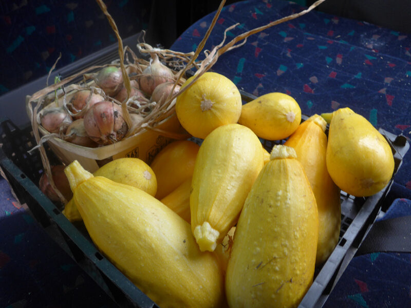 Kiste voller überreifer, gelber Zukkini