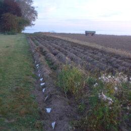 120 Kartoffelsorten vor der Ernte