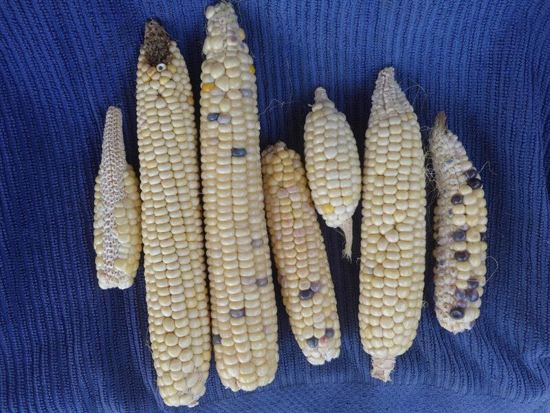Weiße Maiskolben mit schwarzen oder violetten Einsprengseln