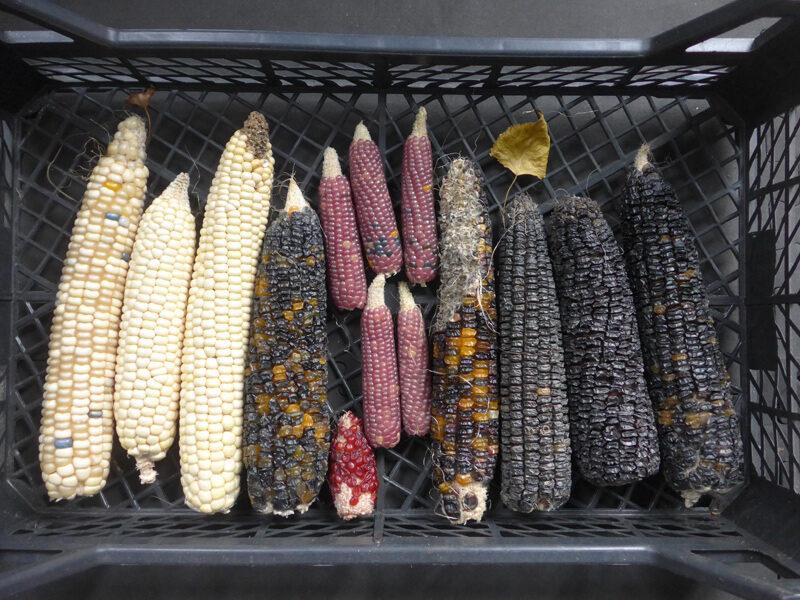 Maiskolben der Ernte 2020: weiß, schwarz, rosa, rot