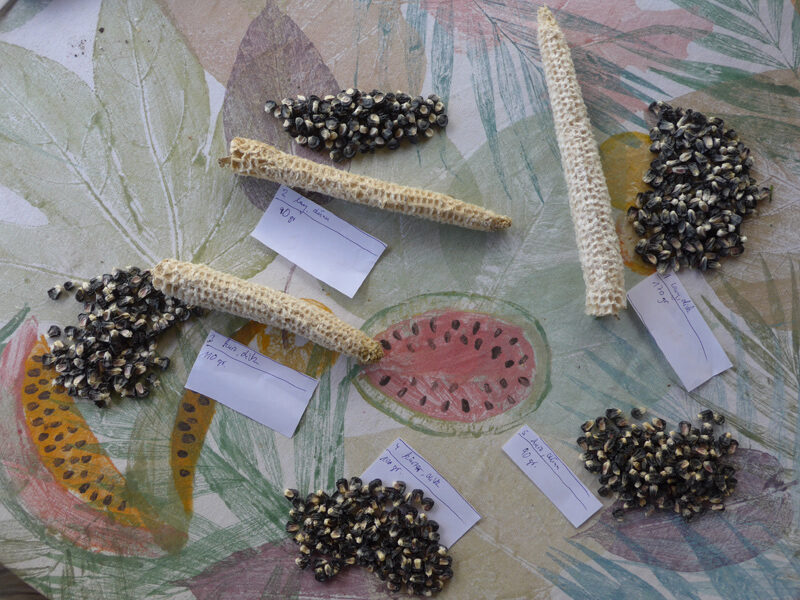 Schwarze Maiskörner und zugehörige Maisspindeln