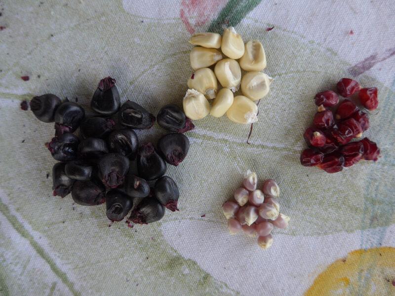 Körner von vier verschiedenen Maissorten