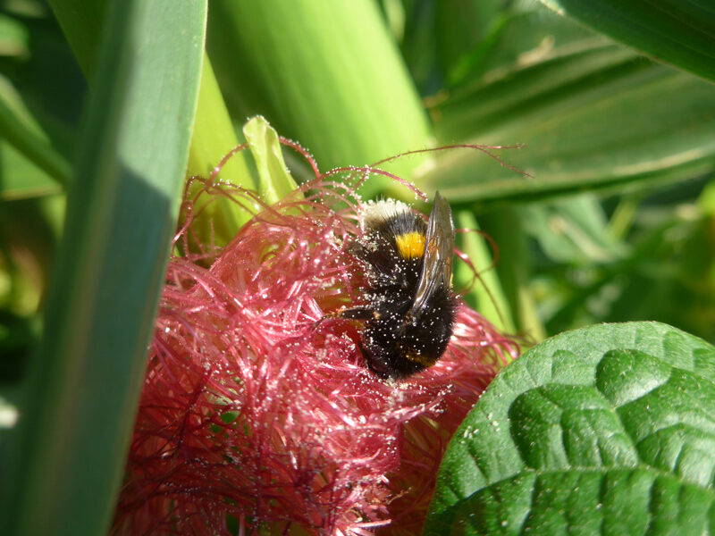 Hummel sammelt Maispollen von weiblicher Maisblüte