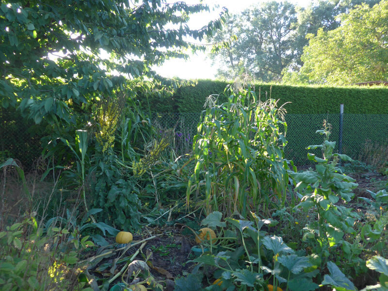 Umgeknickte Maispflanzen