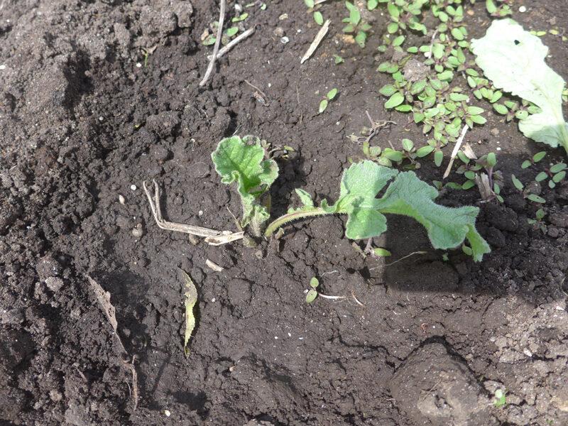 Ausgezupftes und wieder eingepflantes Radieschen ohne einen Teil seiner Blätter