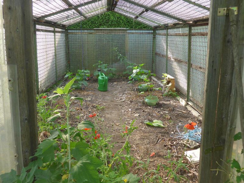 Blick ins kleine Gewächshaus mit Gurkenpflanzen