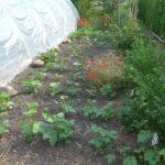 Trockenbuschbohnen und Stachelbeeren mit Sonnenbrand