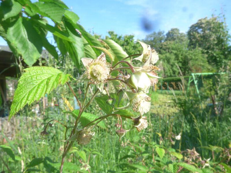 Blüten einer Himbeere