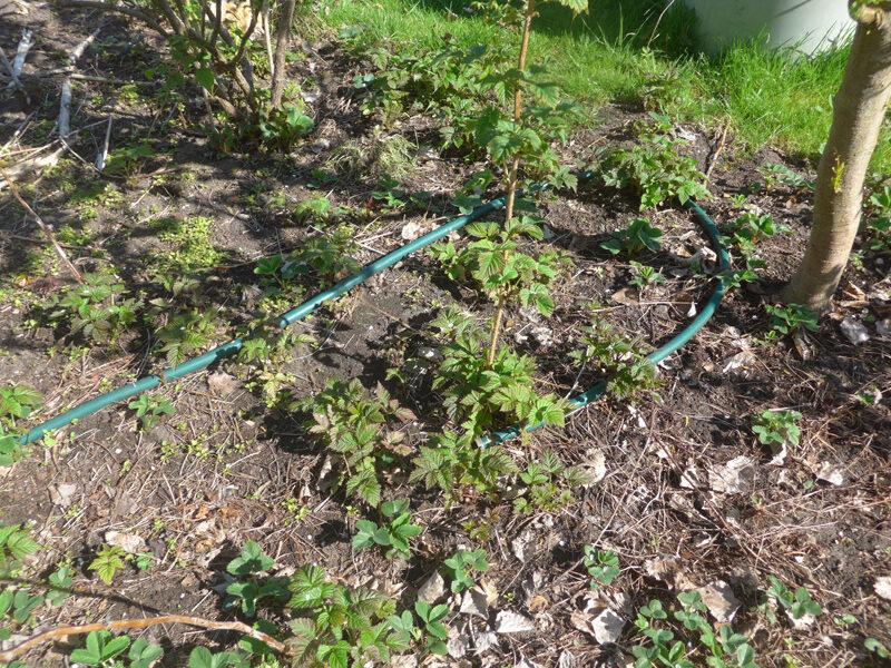Himbeerschösslinge und Gartenschlauch