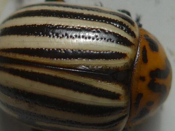 Flügeldecken eines Kartoffelkäfers in Nahaufnahme