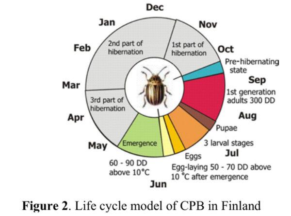 Grafik mit dem Lebenszyklus eines Kartoffelkäfers