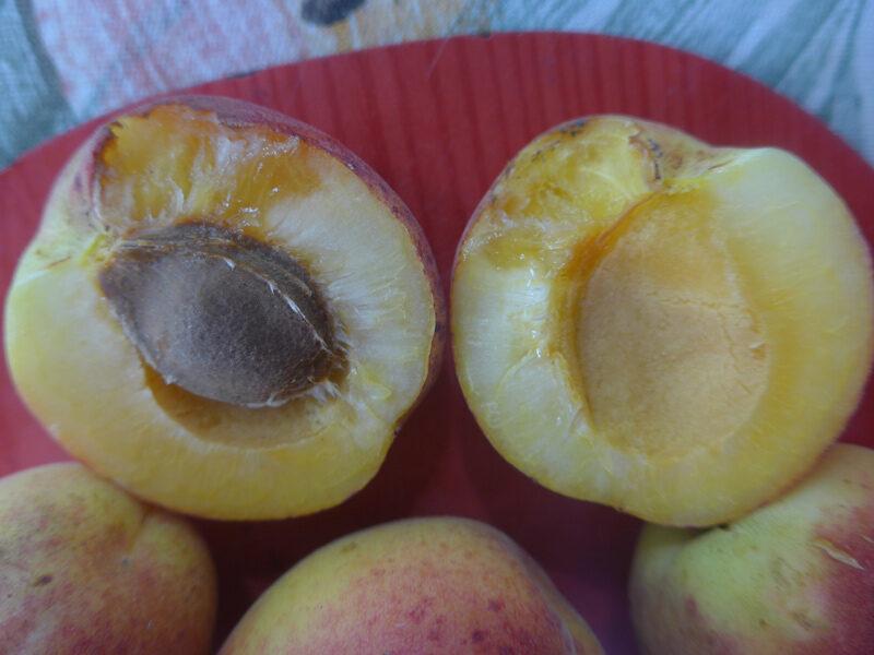 Aufgeschnittene, creme-farbene Aprikose